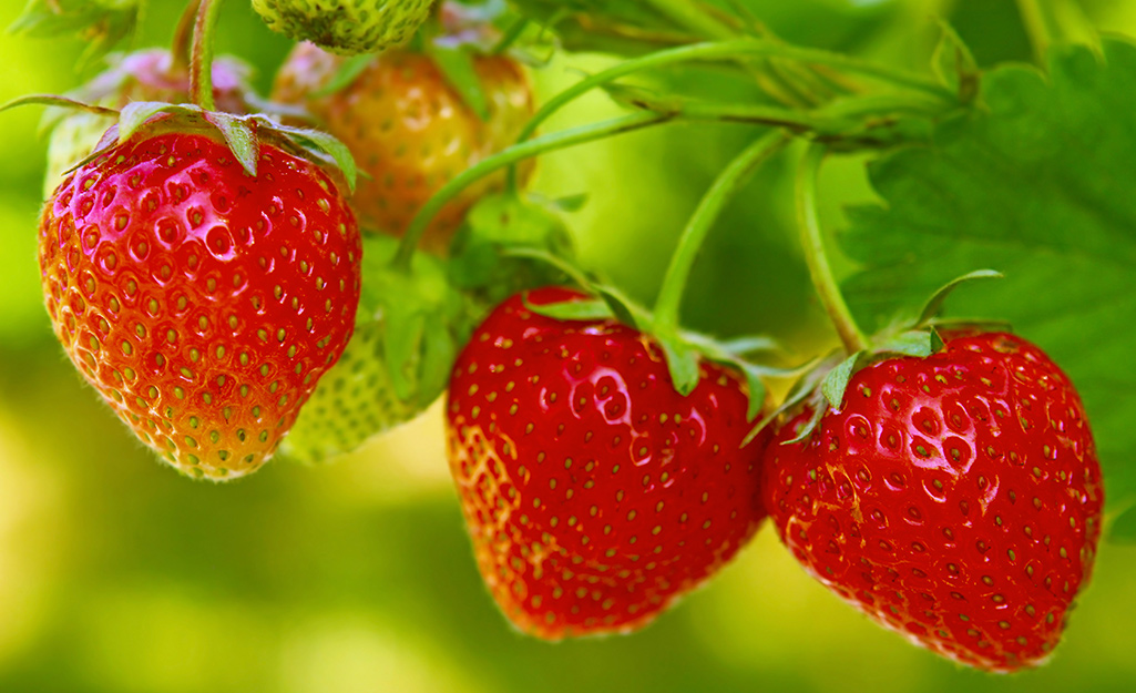 Grow Strawberries in Beds or Containers