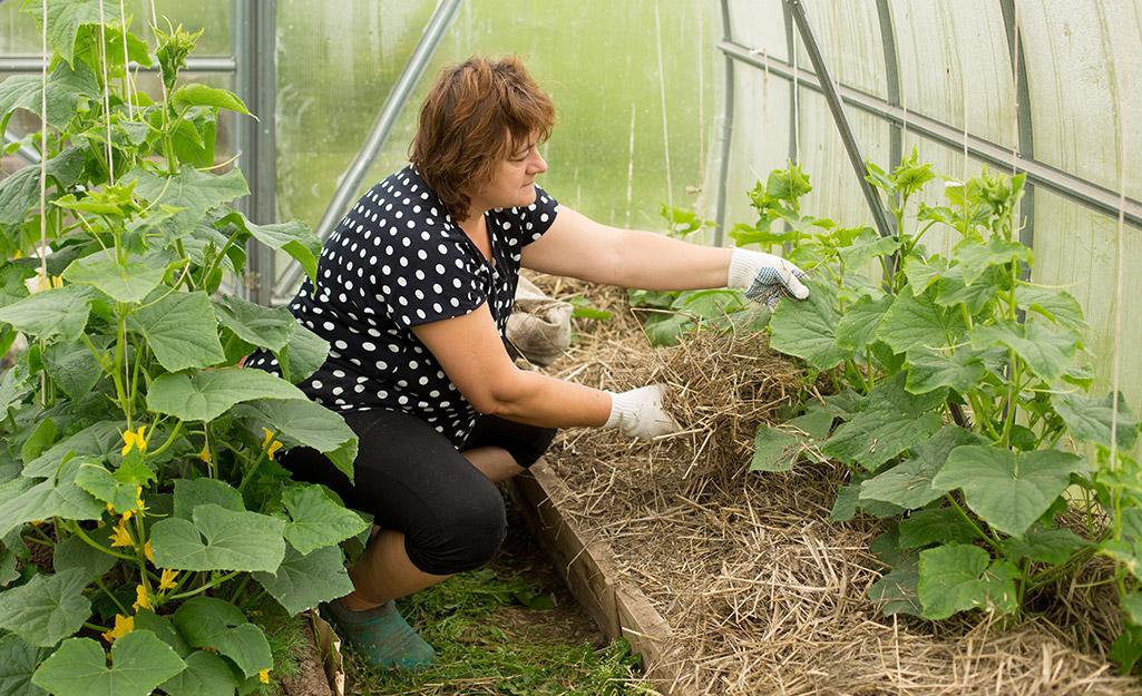Gardener adding mulch to cucumber plants in a greenhouse