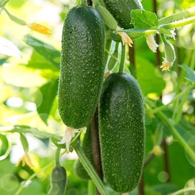 Cucumbers on a vine in the garden