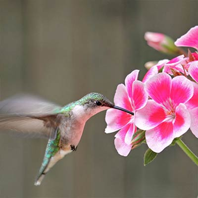 How to Grow a Hanging Basket for Hummingbirds