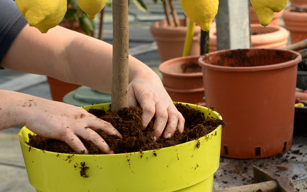A person patting gardening soil into the base of a transplanted lemon tree