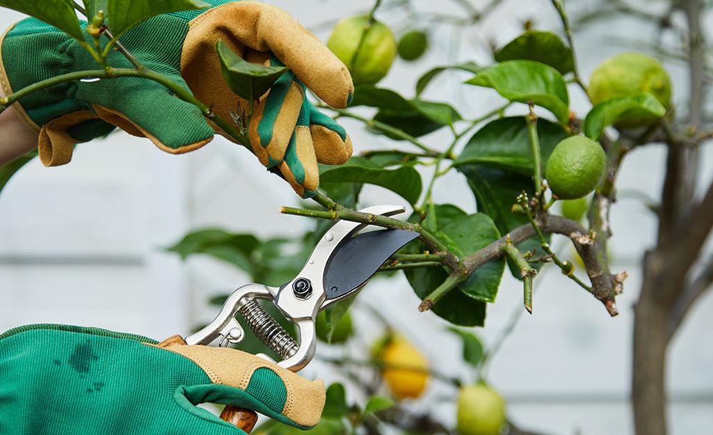 Gardener pruning a lemon tree