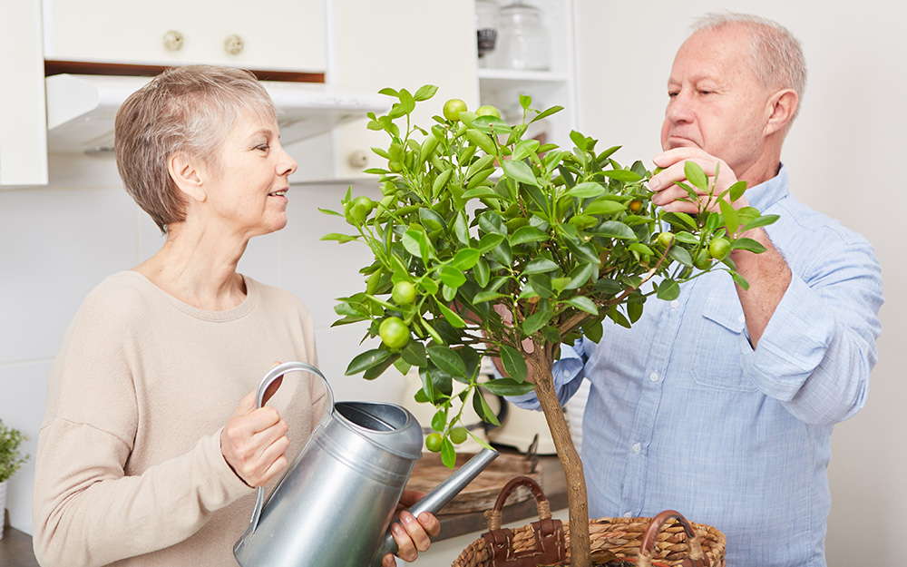 Two people watering and tending to a budding  lemon tree
