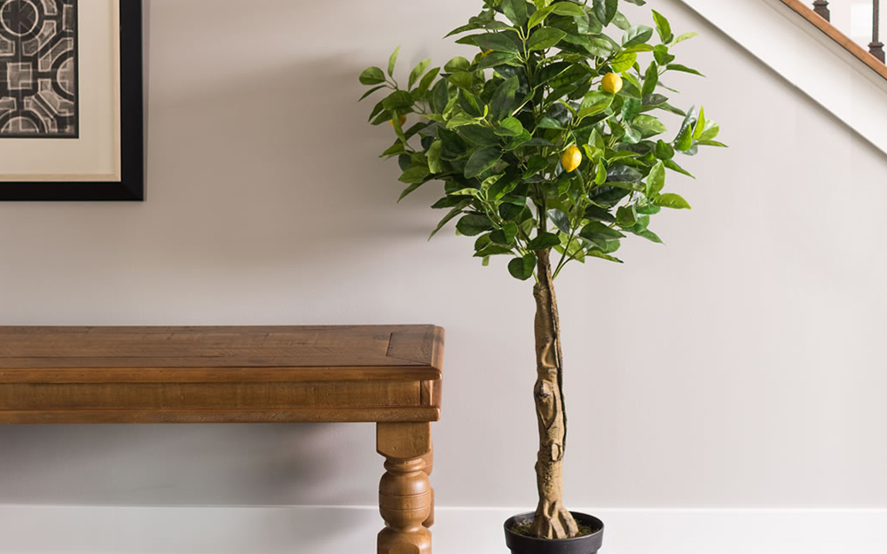 A lemon tree growing inside the entryway of a home