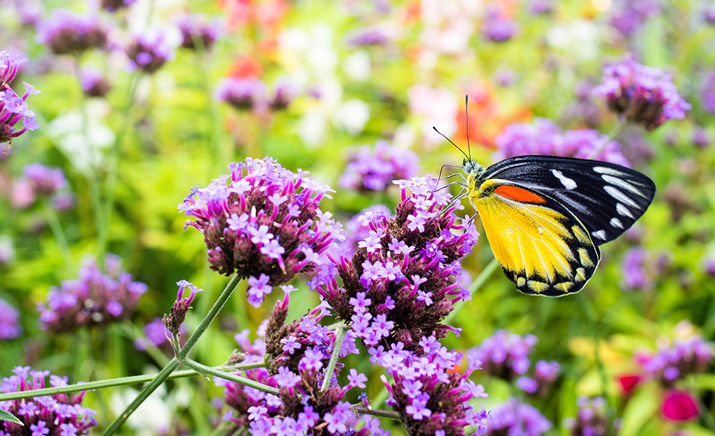 Butterfly on a purple bloom