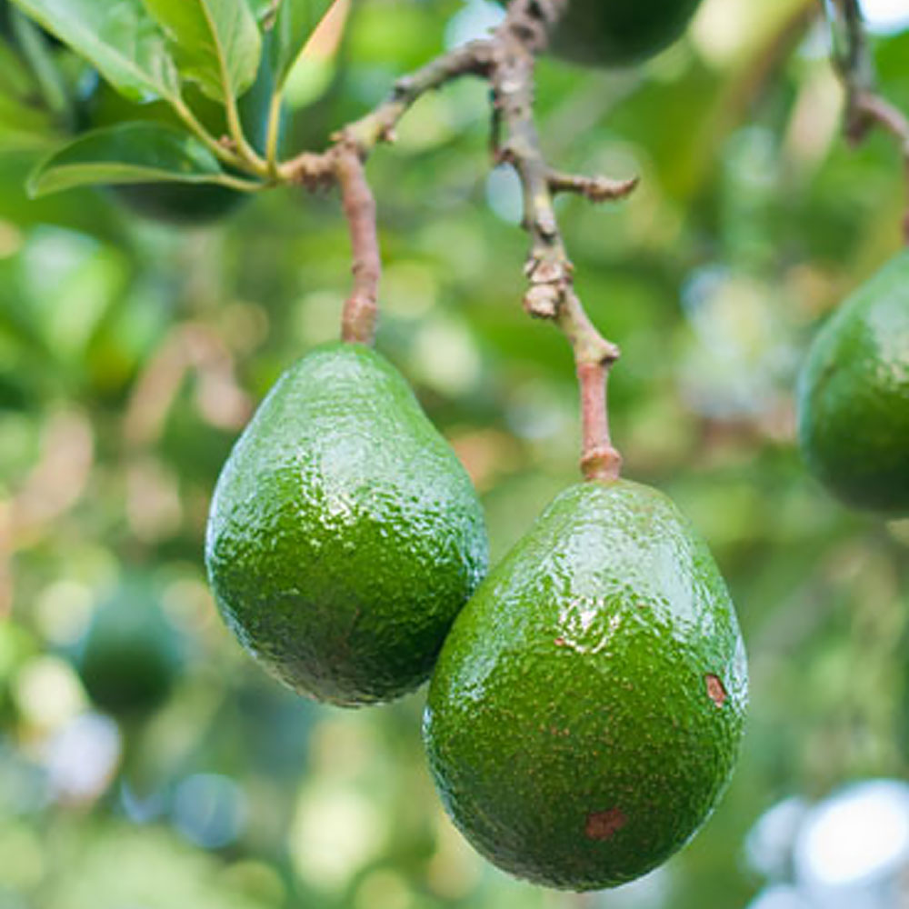 Green avocados growing on a tree