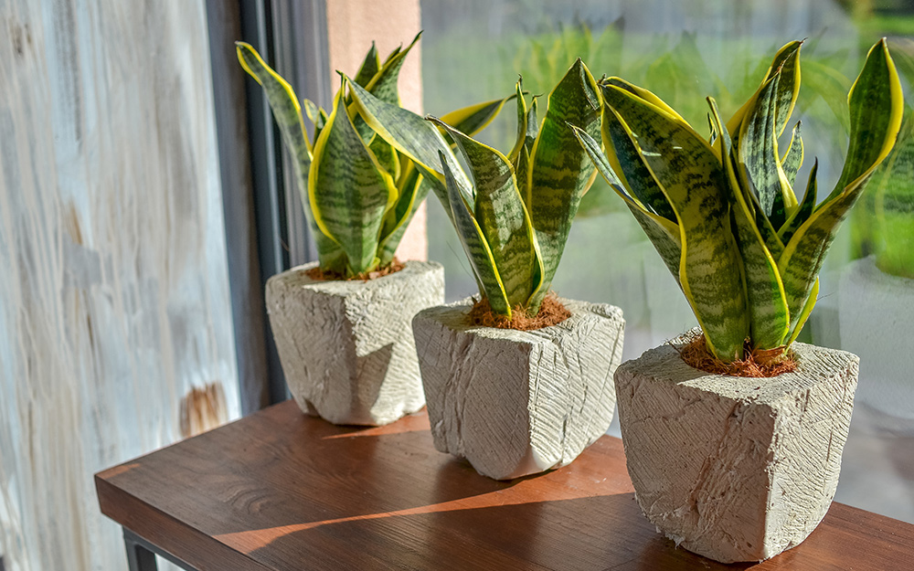How To Grow And Care For A Snake Plant The Home Depot
