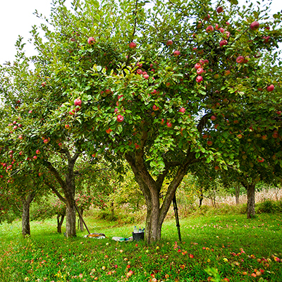 How to Grow Apples