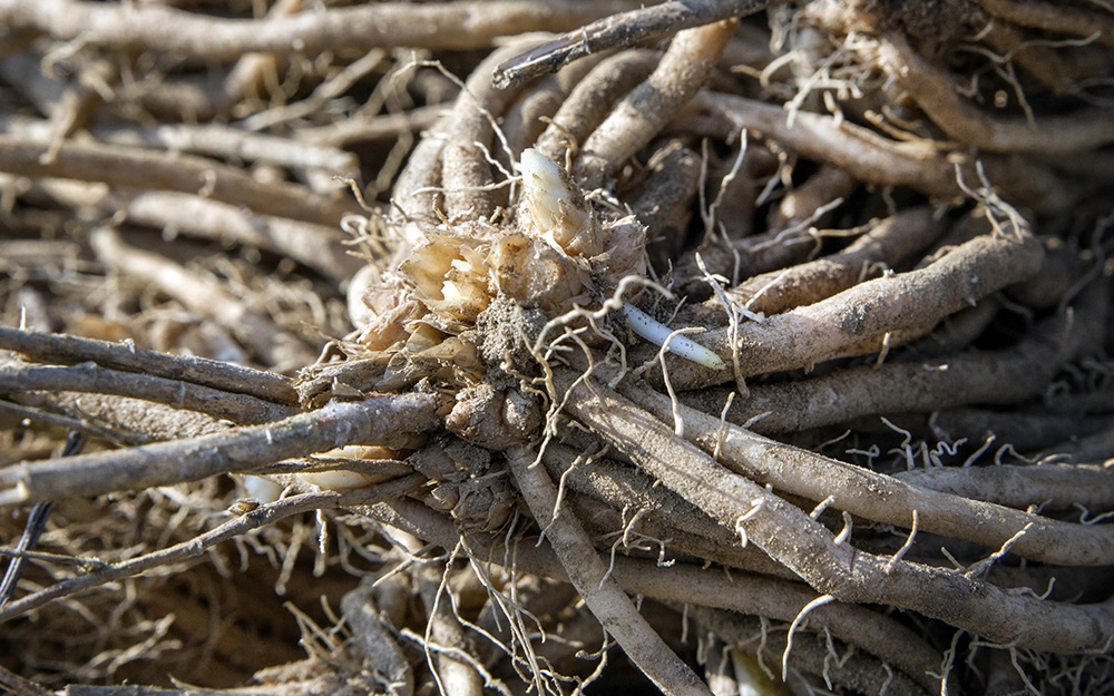 Asparagus crowns or roots.