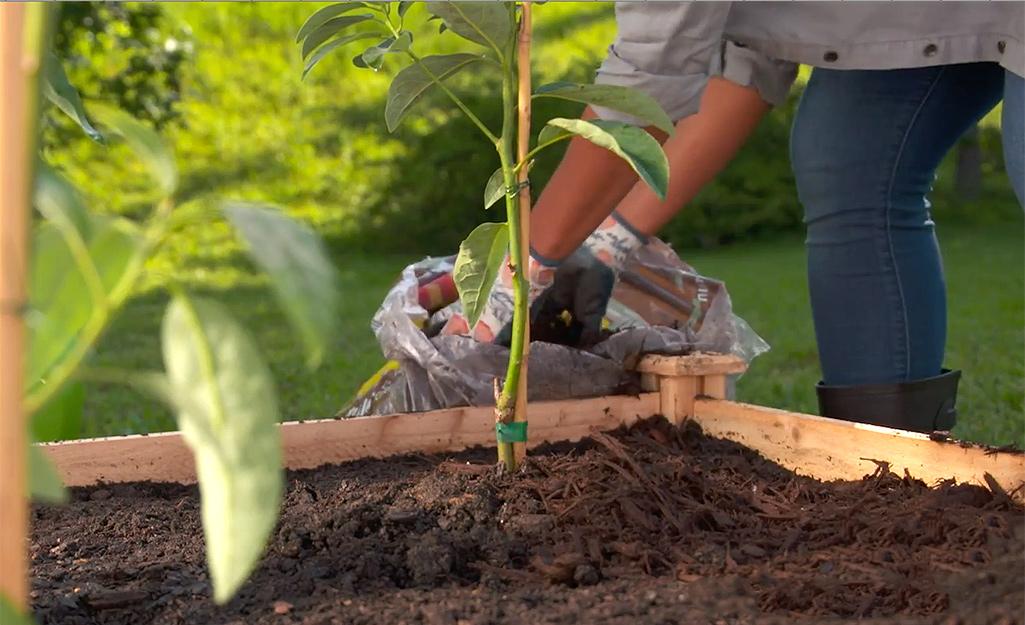 A gardener adds mulch around the tree.