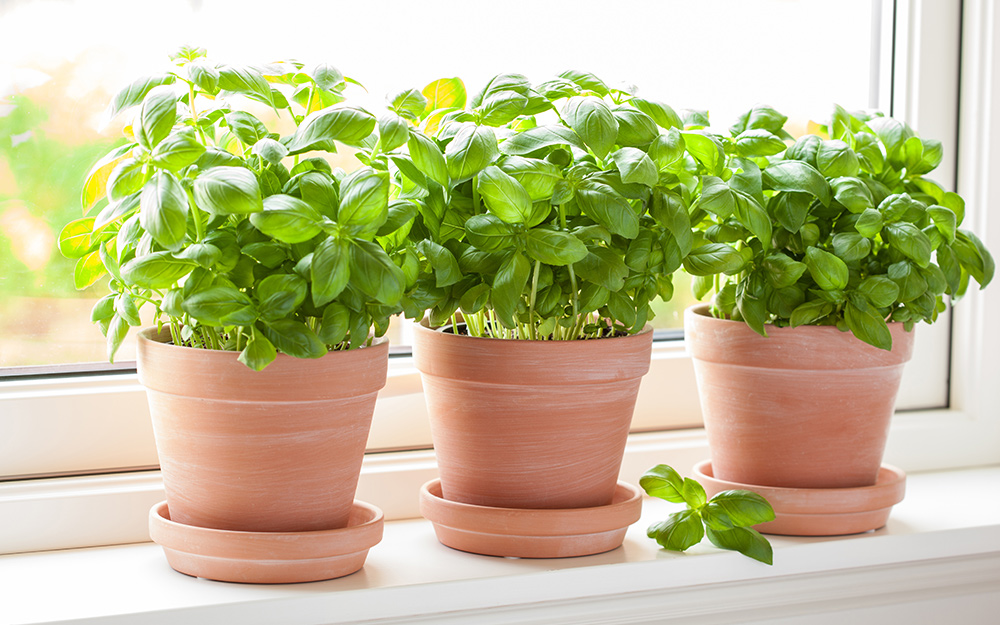 Basil in containers in a sunny window