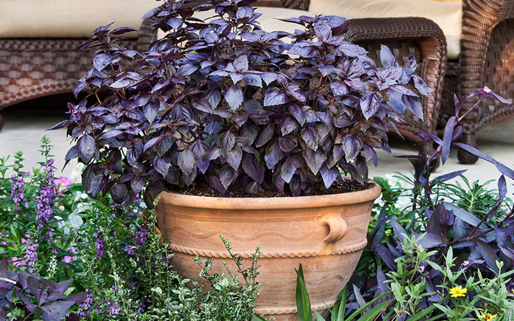 Purple basil in container