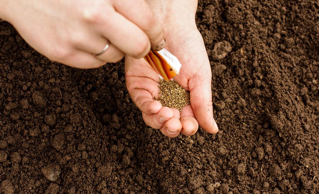 Gardener sowing carrot seeds in soil