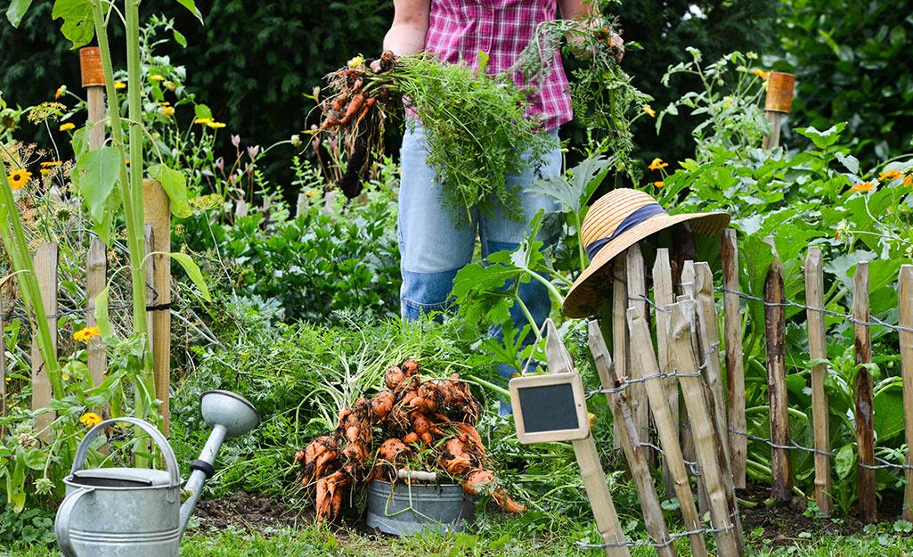 Gardener harvesting carrots in a vegetable garden
