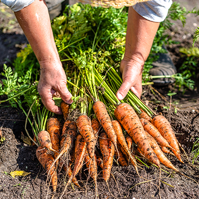 Gardener with bunches of carrots