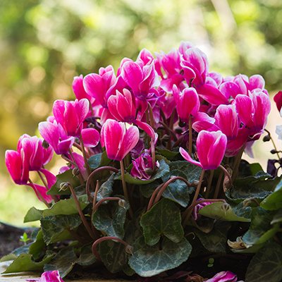 Pink cyclamen blooms