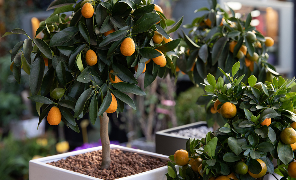 Dwarf citrus trees with orange fruits growing in square, white containers.