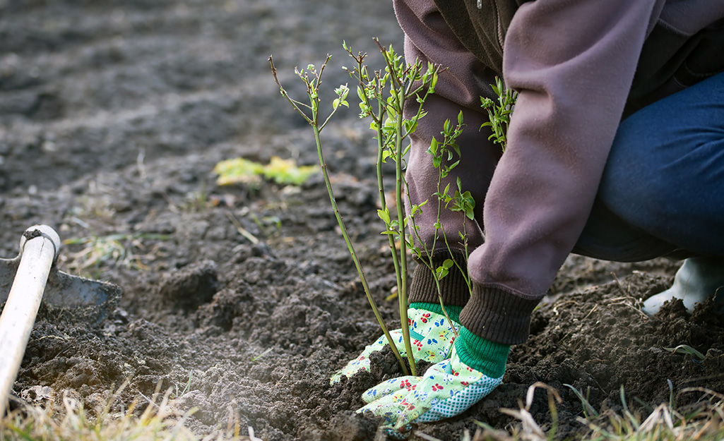 Someone wearing gardening gloves and kneeling in the soil to plant a young berry bush.