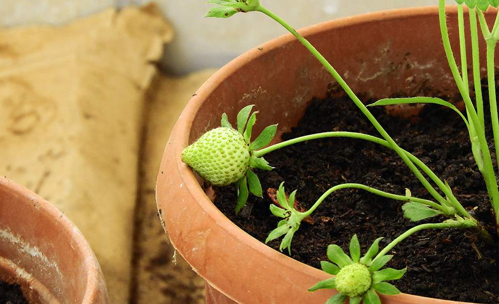Unripened strawberries growing in a container of soil.