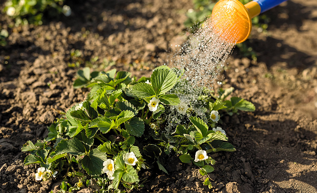 Someone watering a blooming strawberry plant with a watering can.