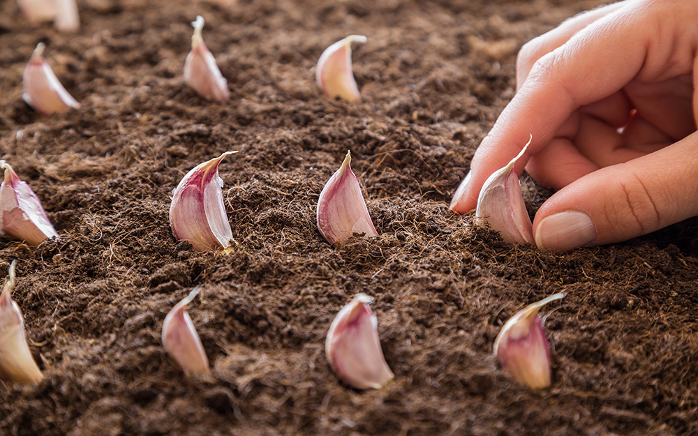 Planting garlic cloves in a plant bed