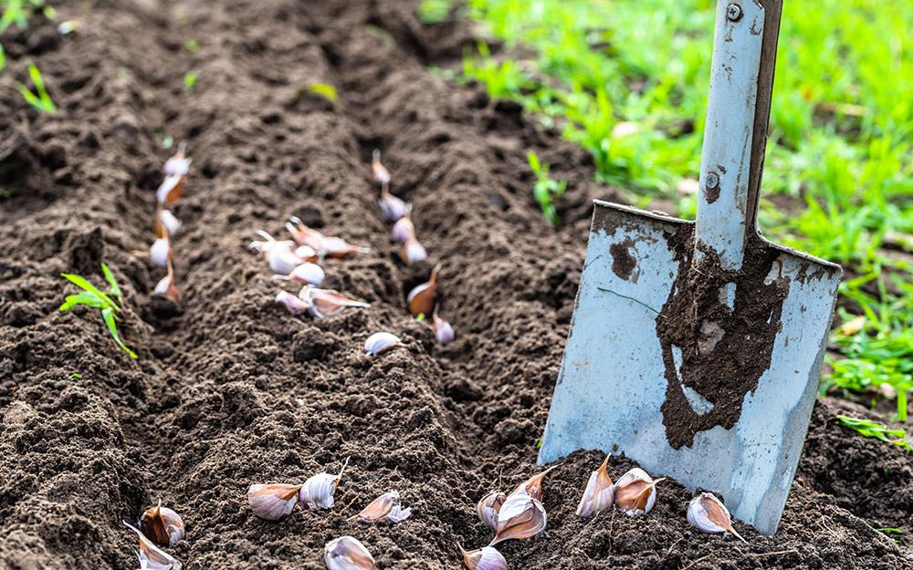 Gardener using a shovel to mulch soil in plant bed for garlic cloves