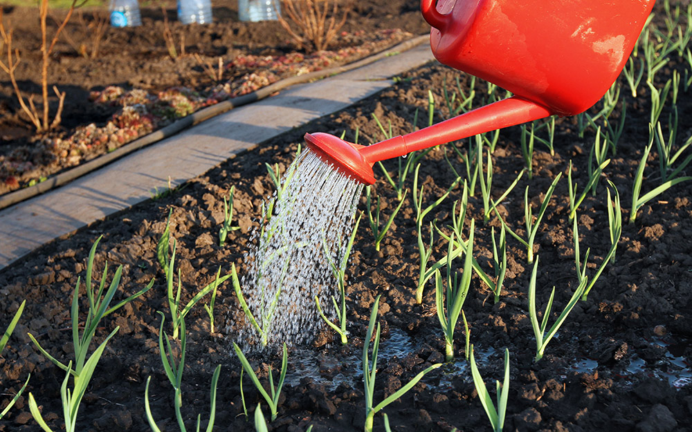 Gardener watering a plant bed of growing garlic cloves