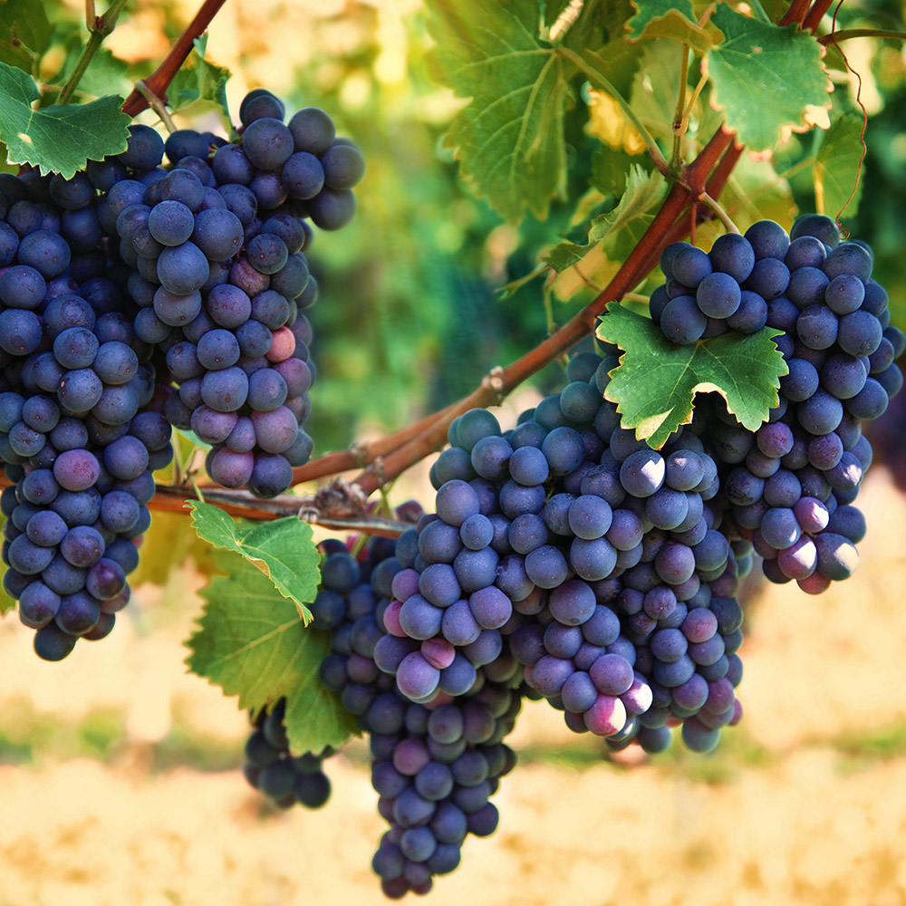 How To Grow Grapes The Home Depot