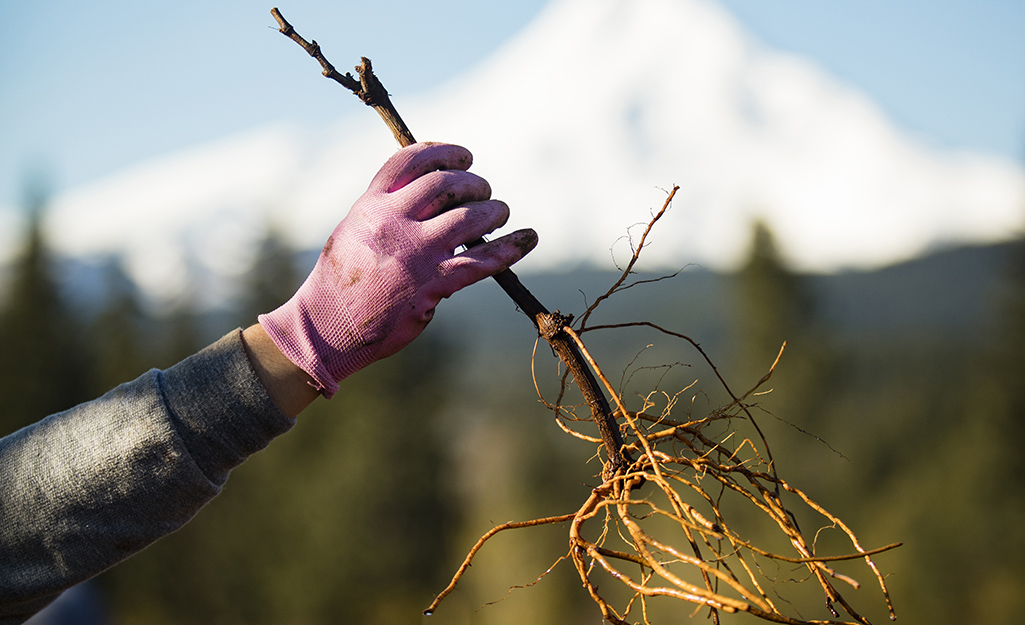 Someone holding a bare rooted grape vine.