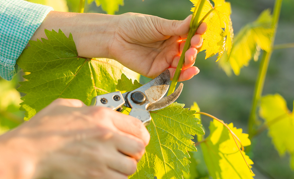 Someone using pruning shears to prune a grapevine.