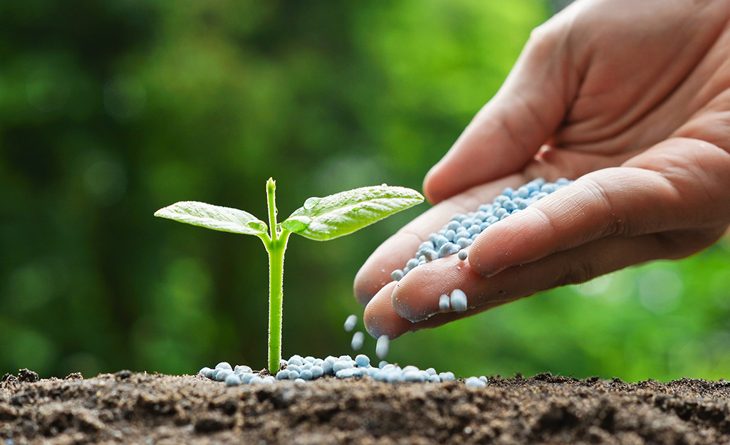 A gardener's hand sprinkles fertilizer on a vegetable seedling.