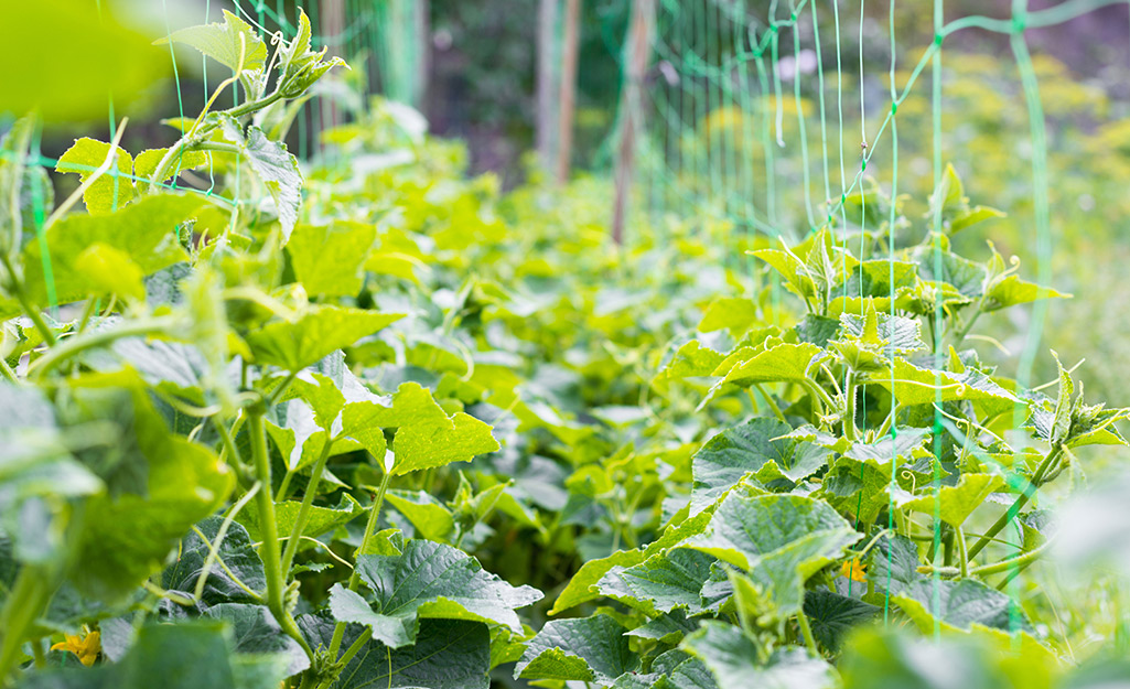 Cucumber plants on a trellis