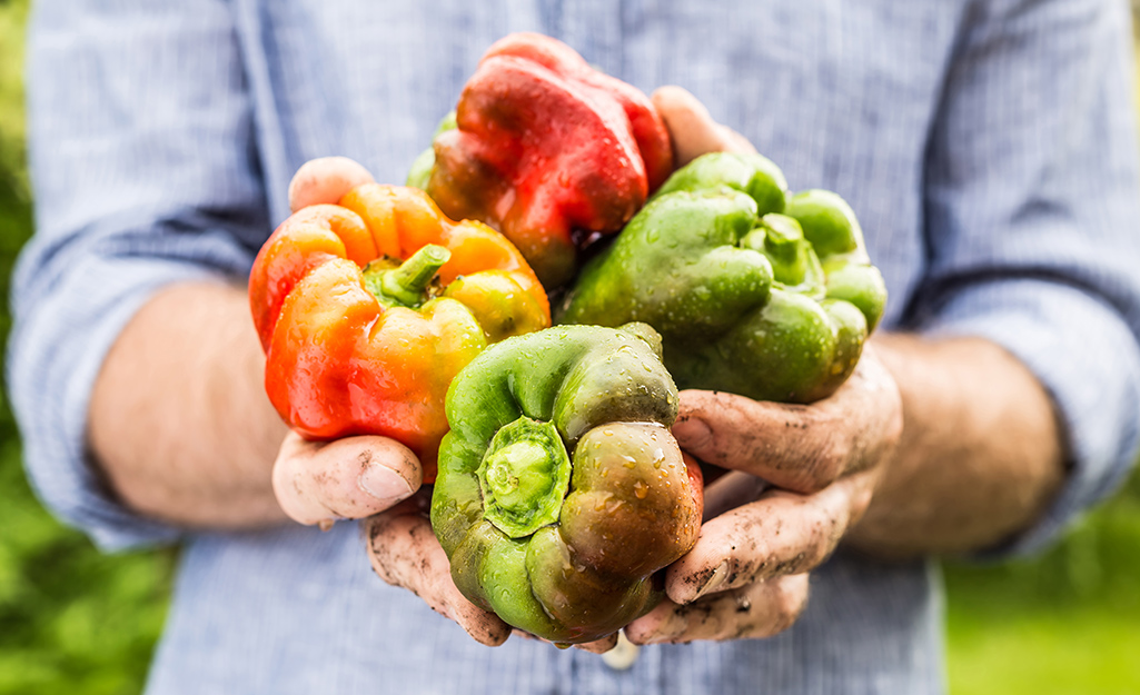 Red and green peppers in a gardener's hands.