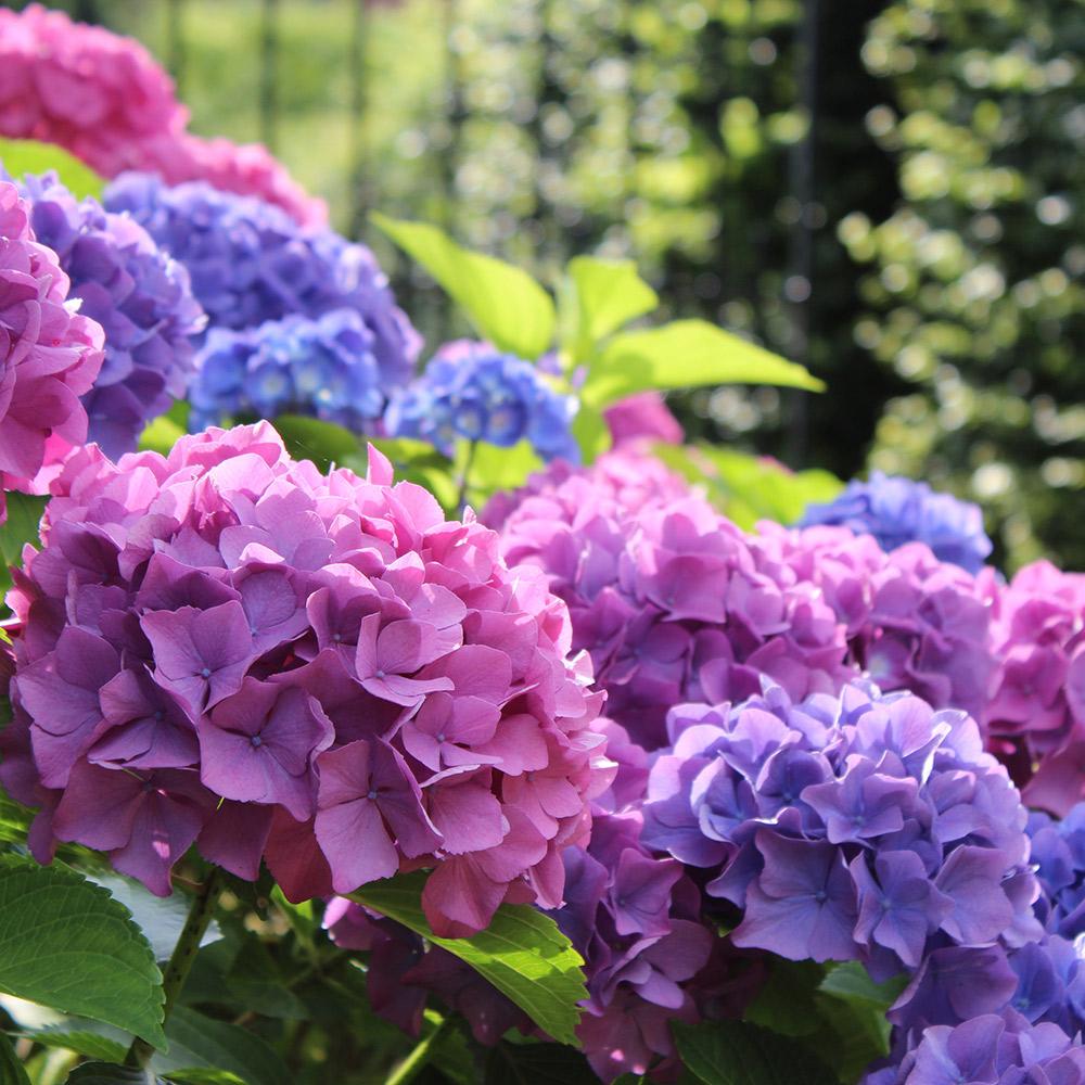 Pink and purple hydrangeas in a garden