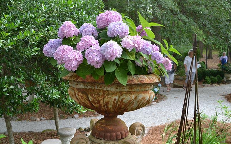 Hydrangeas for Your Region