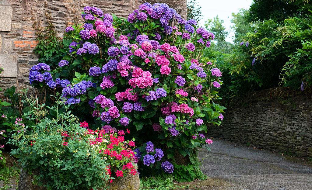 Colorful hydrangeas in a garden