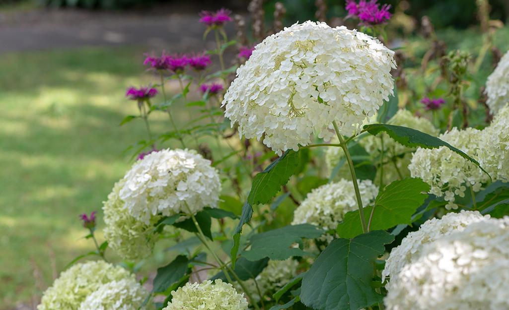 White hydrangea arborescent in the garden