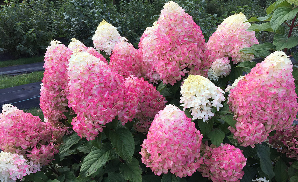 Pink and white panicle hydrangeas in a garden