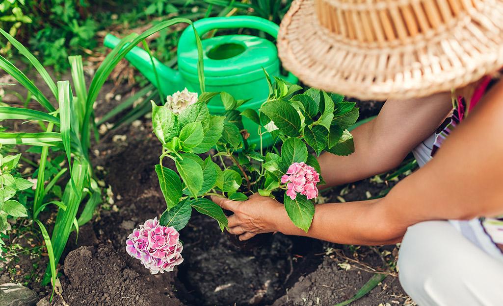 Gardener planting hydrangeas in a garden