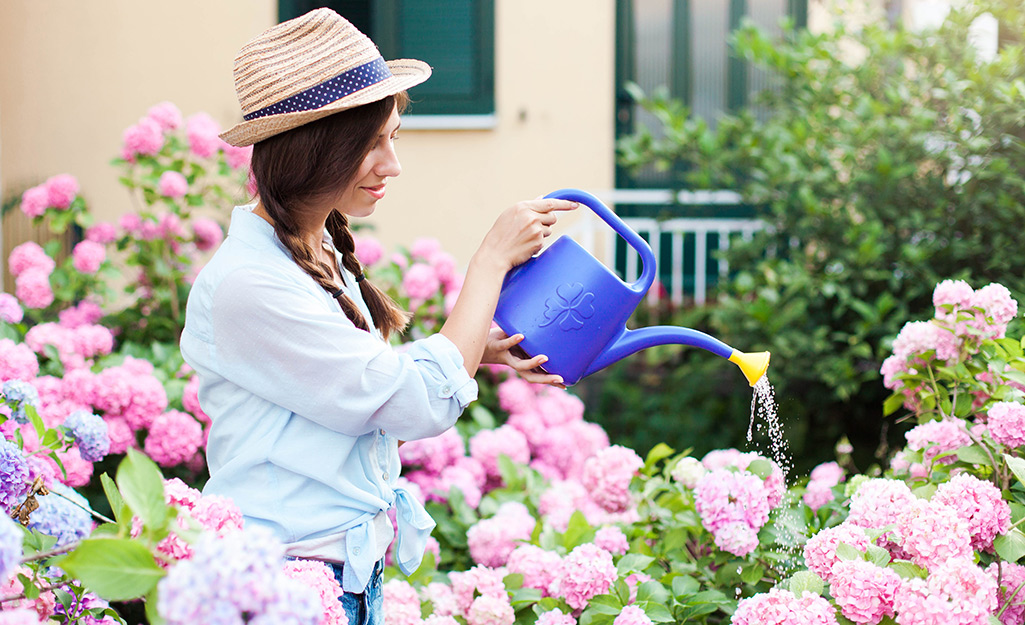 Gardener watering pink hydrangeas