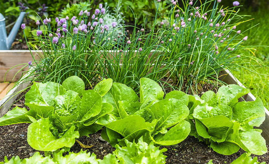 Lettuce growing with chives in a raised garden bed