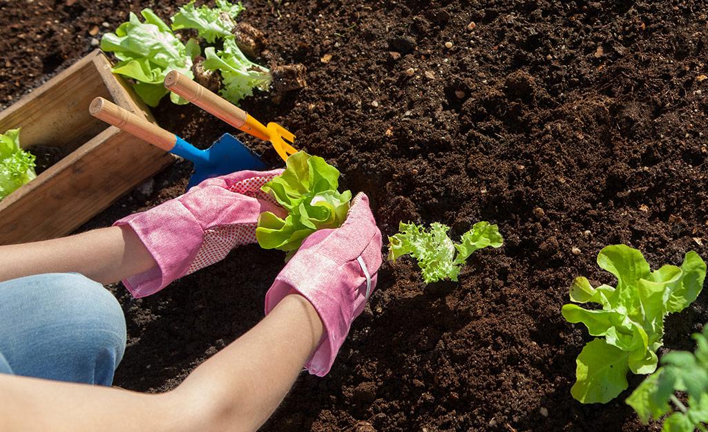 Gardener planting lettuce seedlings in soil
