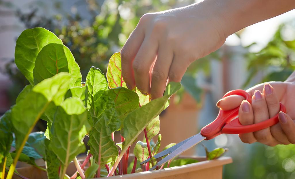Gardener uses scissors to harvest lettuce leaves