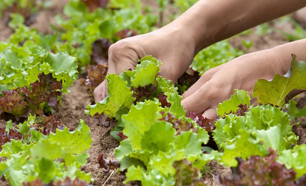 Gardener harvests lettuce
