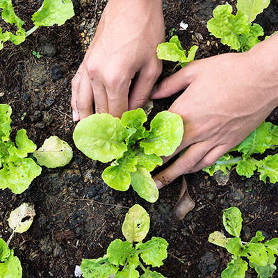 Lettuce growing from the ground.
