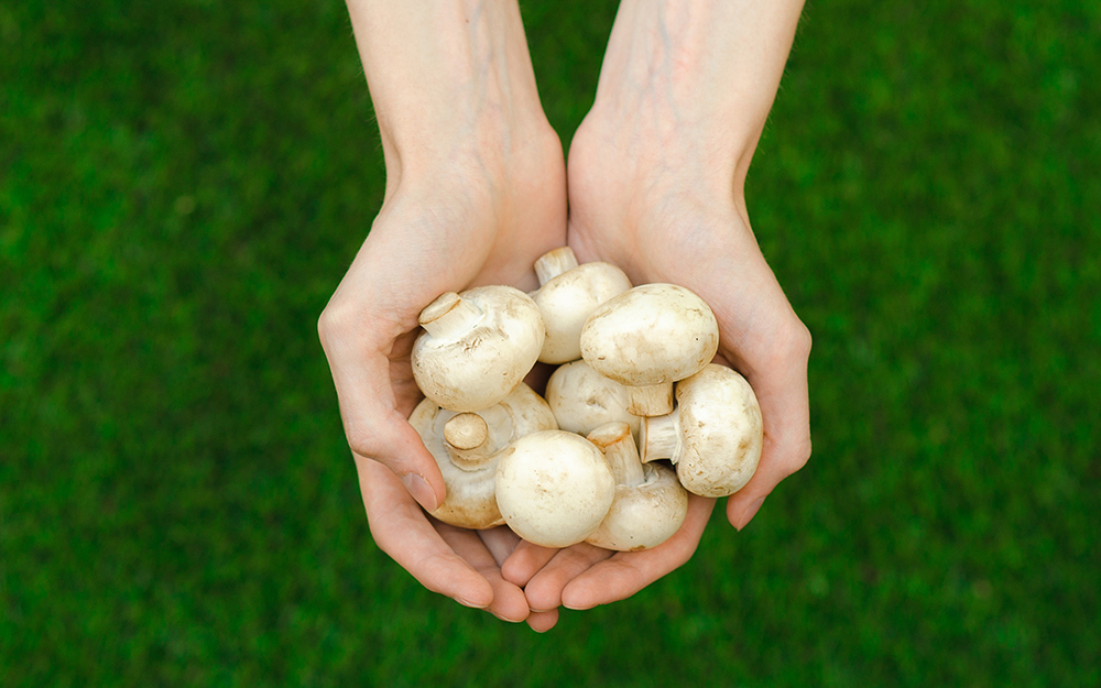 Person holding a handful of white mushrooms.