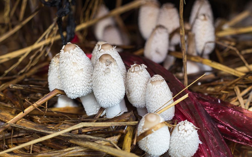 Mushrooms growing in straw.
