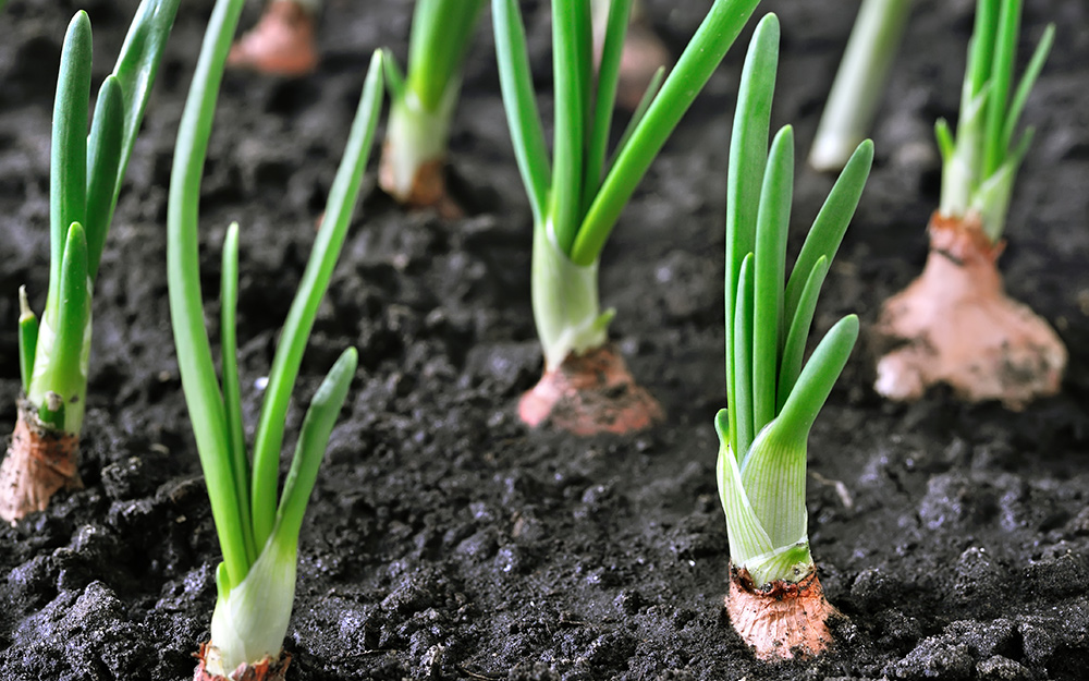 Onions sprouting in soil.