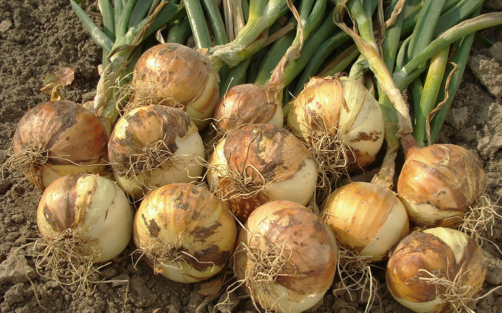 Ripe onions curing on the ground.