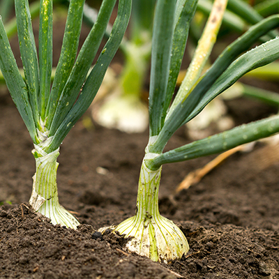 Bulb onions growing in soil.